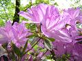 薄紫色のツツジ(アップ)。 光を浴びて。