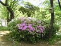 紫のツツジ、白のツツジ、鳥の巣箱