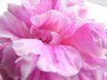 芍薬の花(アップ)