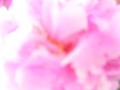 芍薬の花(露出オーバー、ハイキー、ふんわり、完全にピンぼけ、イメージショット)