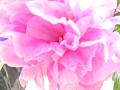 芍薬の花(露出オーバー、ハイキー、ふんわり、若干ピンぼけ)