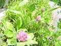 ムラサキツメクサ(紫詰草。別名アカツメクサ)3輪。