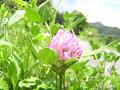 ムラサキツメクサ(紫詰草。別名アカツメクサ)1輪。 若干ピンぼけ気味