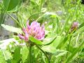ムラサキツメクサ(紫詰草。別名アカツメクサ)2輪。