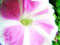 薄紫(赤紫系ピンク)の朝顔。