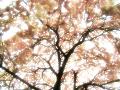 枝垂れ桜(水彩風・夢)