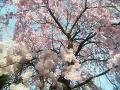 枝垂れ桜(水彩風・明るめ)