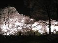 夜桜(水彩風・キラキラ)