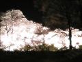 夜桜(水彩風・キラキラ・明)