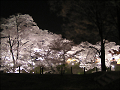 夜桜(水彩画風)