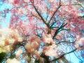 枝垂れ桜(水彩風・ふわふわ)