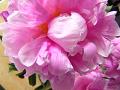 芍薬の花(真上からアップ)
