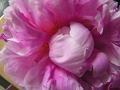 芍薬の花(花びらの中に隠された雄しべ)