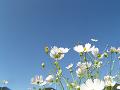 白いコスモスと青い空