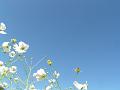 白い秋桜と蒼い空