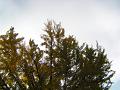 銀杏の枝陰