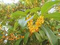 上田城跡公園:キンモクセイの満開の花。