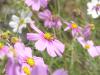 コスモス畑の蜜蜂