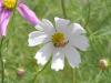 白いコスモスと蜜蜂
