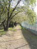 テニスコート脇 桜並木