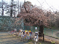 桜の下に自転車