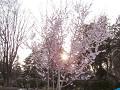 桜の枝間に沈む夕日