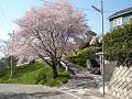 上り坂の桜並木