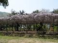 鞄の藤(上田市国分寺史跡公園)
