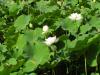 別所温泉 蓮の花