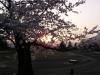桜の枝に夕日