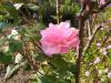 うす桃色の薔薇